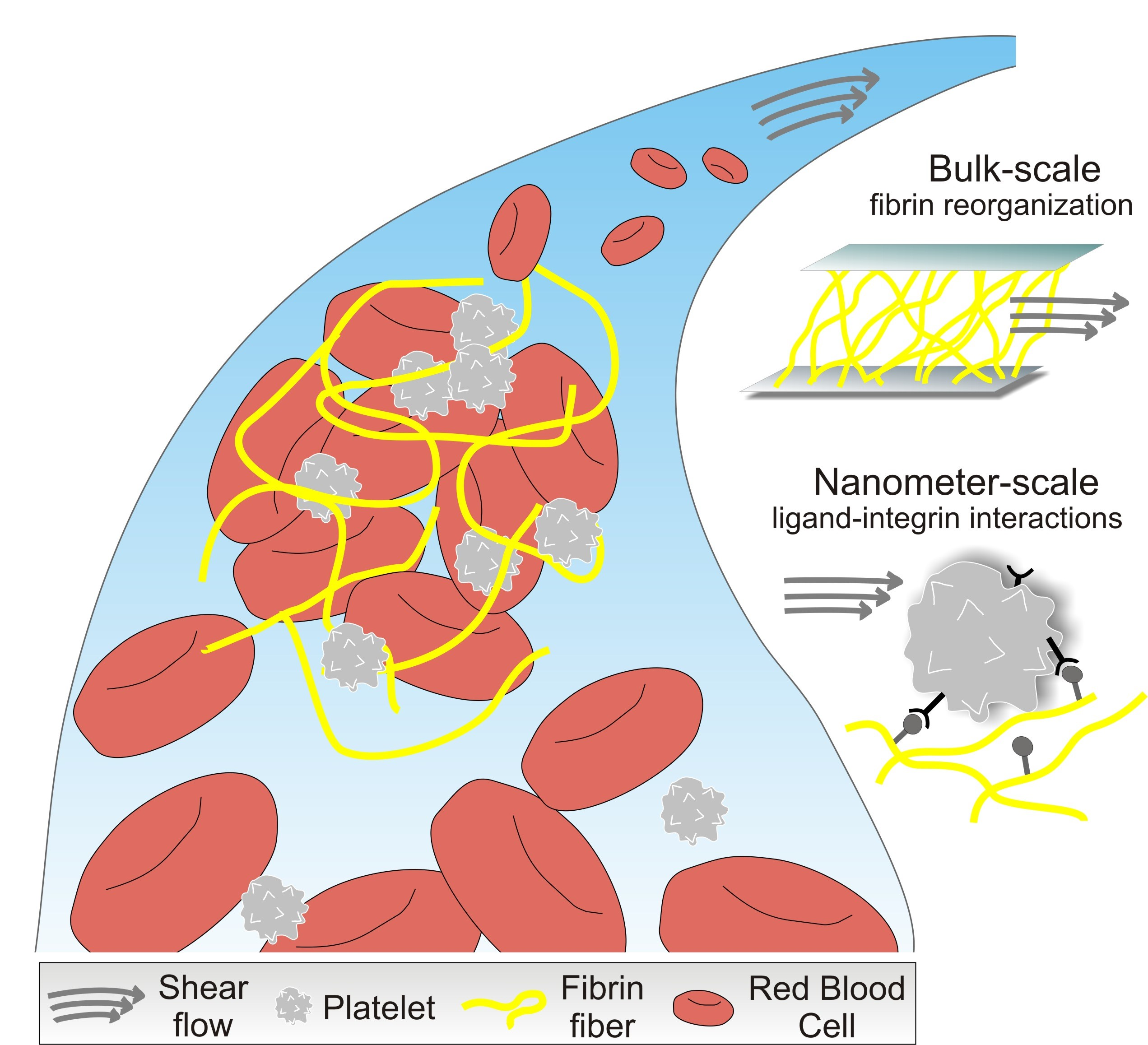 Pierini Research Group HOMING The effect of shear flow on fibrin clot structure and fibrin-platelets interactions